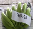 New Variety of Banana to Be Introduced To Dominica