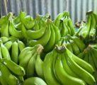Banana Plantlets Resulting in Industry Success; UK Market Targeted